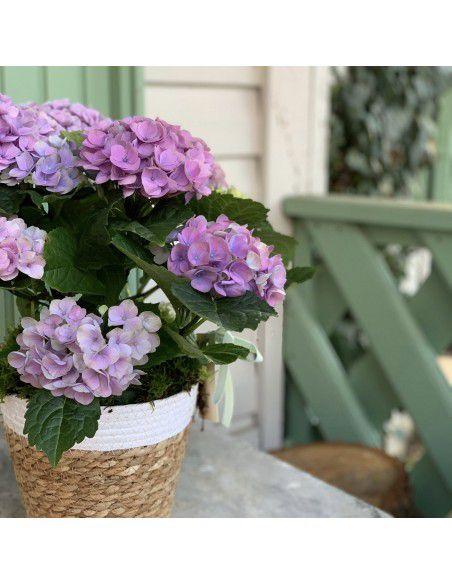 Planta hortensia lila