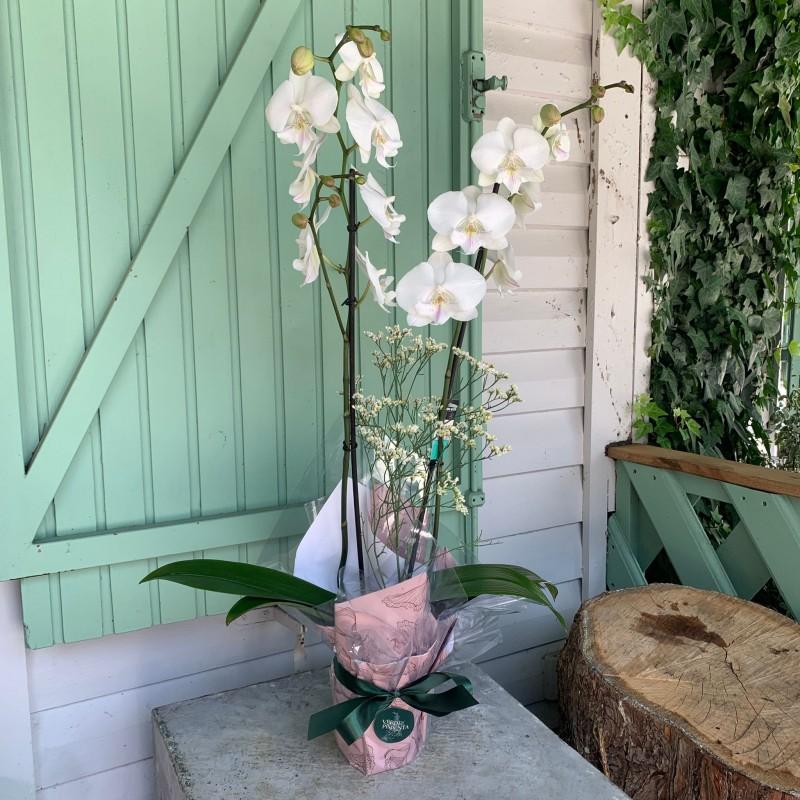 Orquídea blanca Elma