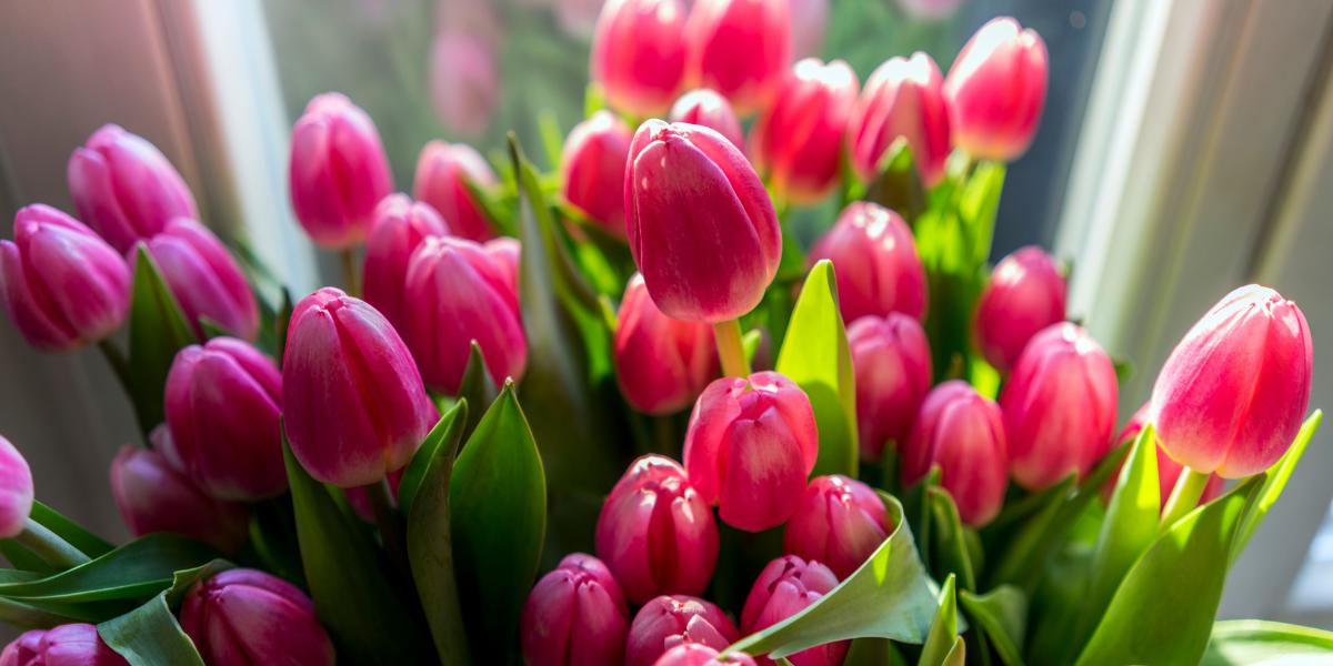 Cuidados de los tulipanes